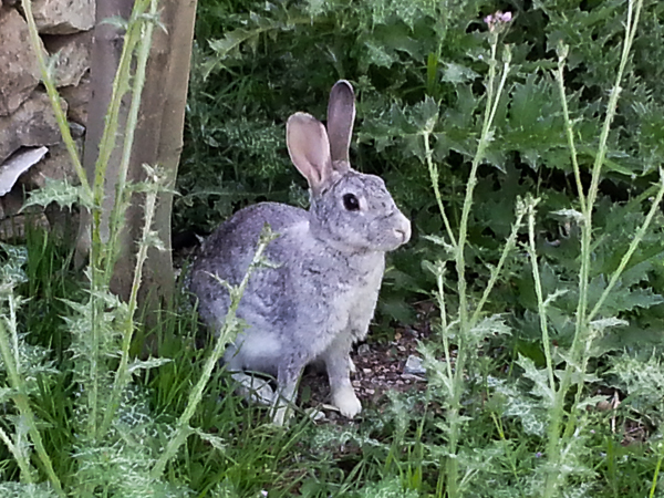 A hare! (I think, as opposed to rabbit).