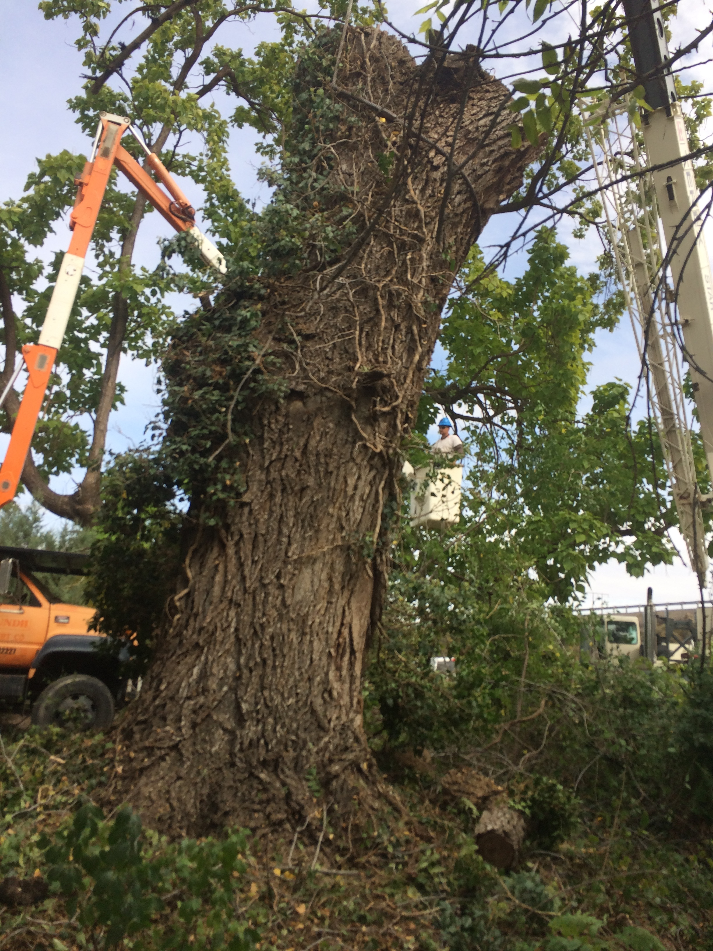 Removing a dead, 100 yr old black walnut tree from an old idaho homestead.
