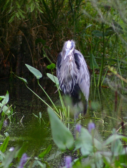 Homeless Bird     Living out in the rain in the swamps is hard on this old bird's feathers!
