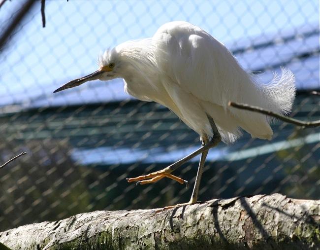 Cattle Egret on one leg!