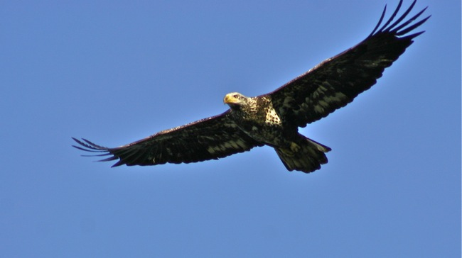 Juvenile Bald Eagle, photograph by William R. Beebe