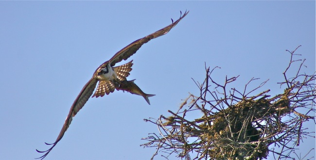 Osprey leaving nest with fish, photograph by William R. Beebe