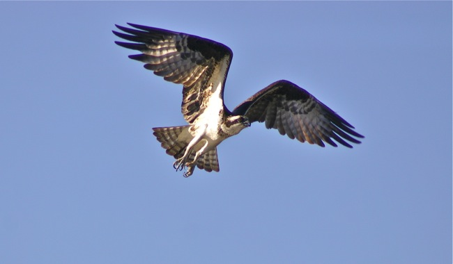 Hovering Osprey, photograph by William R. Beebe