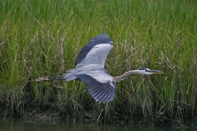 Great Blue Heron in flight, photograph by William R. Beebe