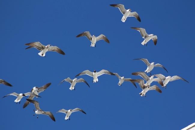 Seagulls Feeding Frenzy!