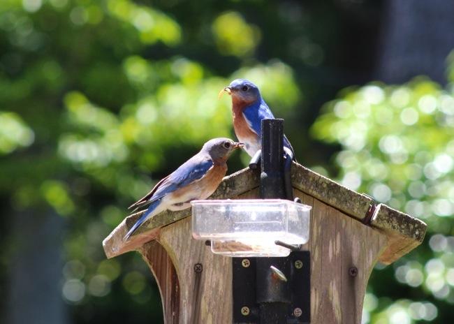 Bluebirds at the feeder