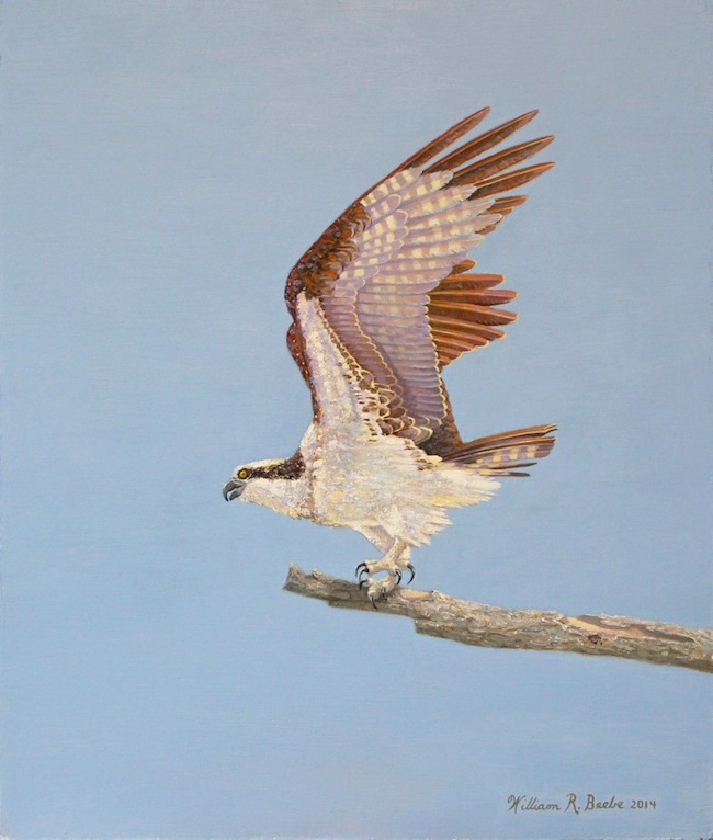 Out on a Limb   , by William R. Beebe, 14 x 12, oil on board, $2200
