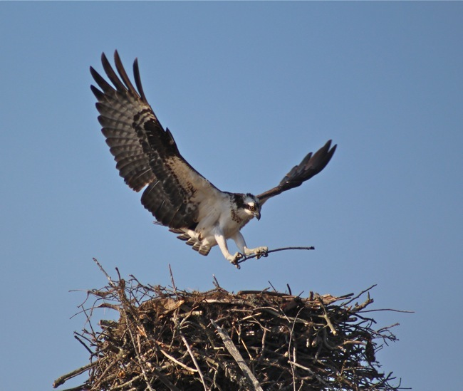 Back to the Nest, photo by William R. Beebe