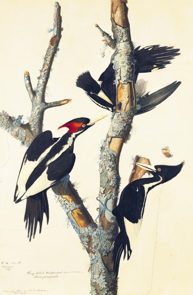 Ivory-billed Woodpeckers by John James Audubon