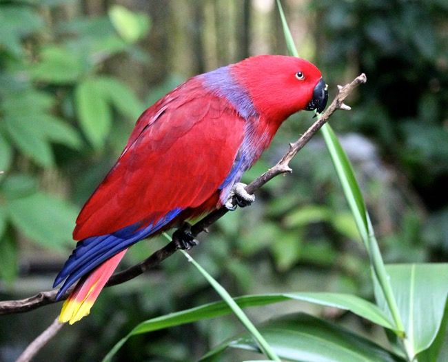 Eclectus Parrot photographed by William R. Beebe