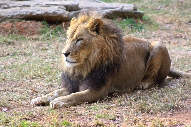 Reilly the Father Lion photographed by William R. Beebe