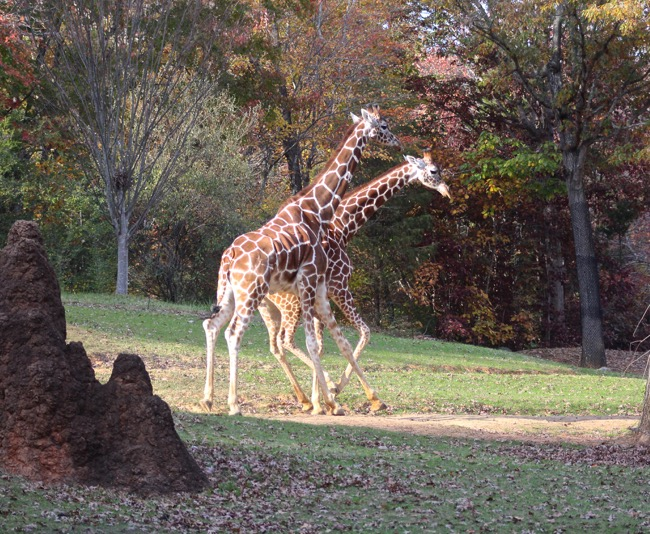 Giraffes Prancing photographed by William R. Beebe