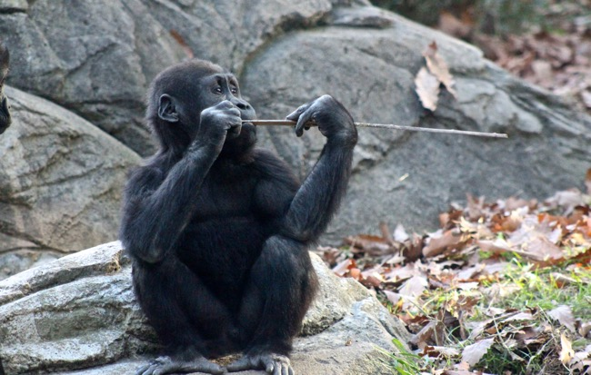Baby Gorilla photographed by William R. Beebe