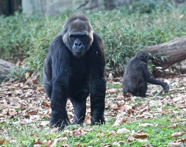 Momma Gorilla photographed by William R. Beebe