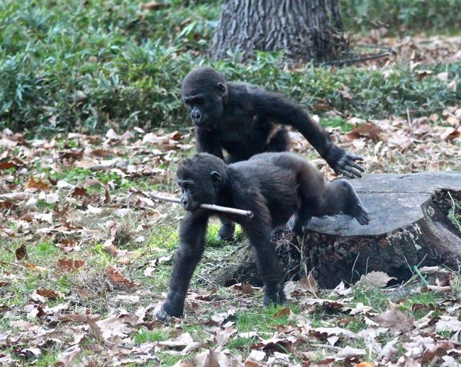 "Gorilla ""kids"" Bomassa and Apollo photographed by William R. Beebe"