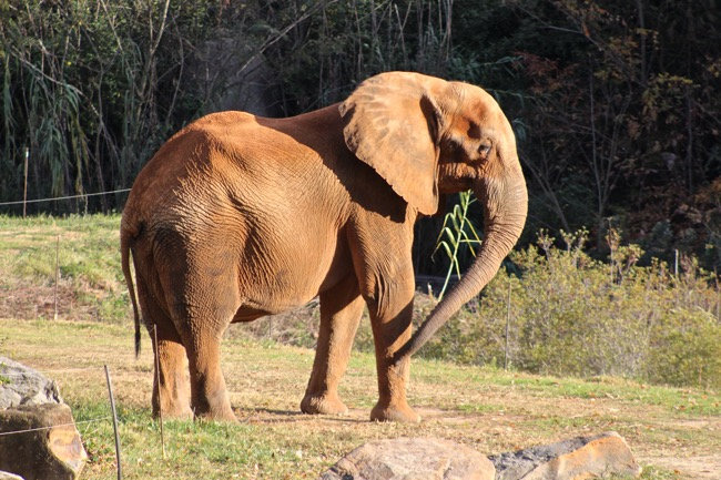 Sunlit Elephant photographed by William R. Beebe