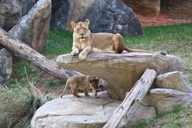 Mekita and cub photographed by William R. Beebe