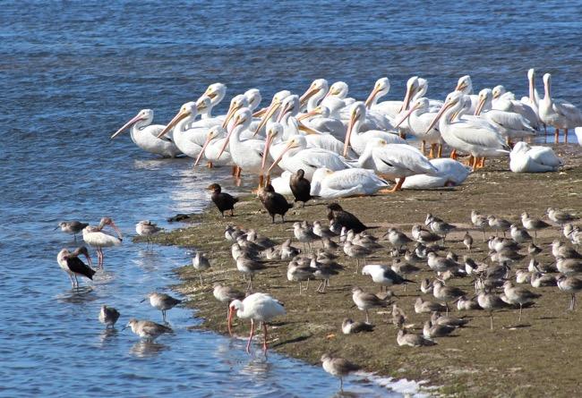White Pelicans at Ding Darling Wildlife Refuge