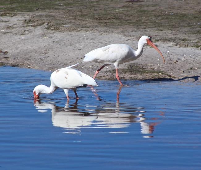 White Ibis in Ding Darling National Wildlife Refuge