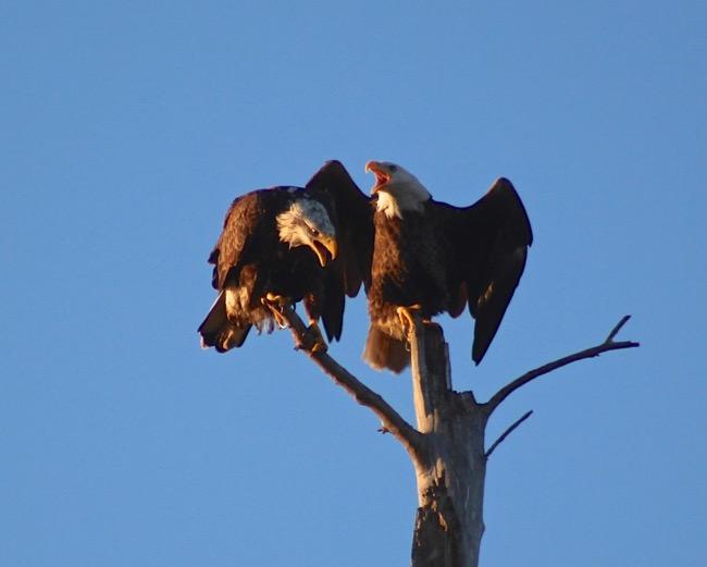 Sanibel Eagles