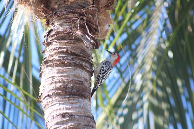 Red-bellied Woodpecker in Key Largo