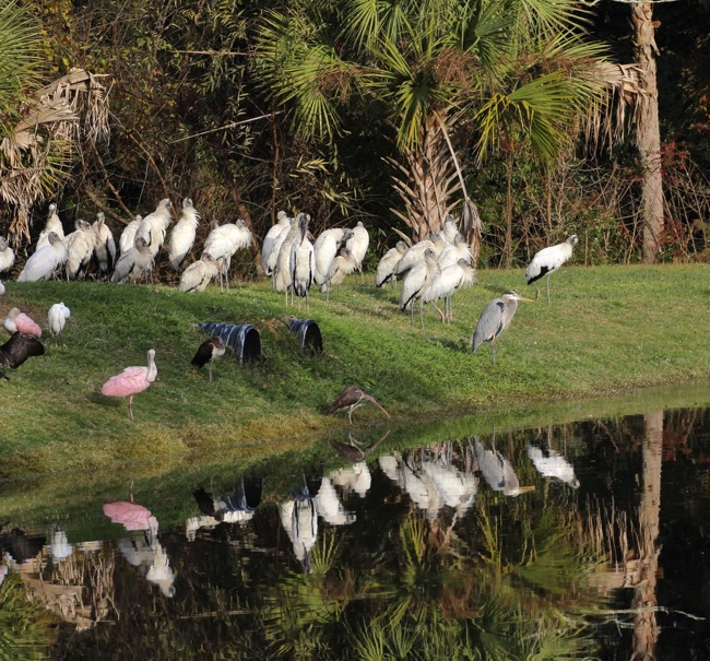 Waiting for the Tiki Bar to open ~ Spoonbills and Wood Storks and more.....