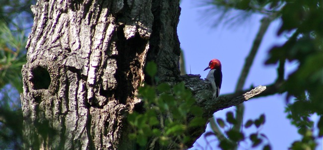 Redheaded Woodpecker photographed by William R. Beebe