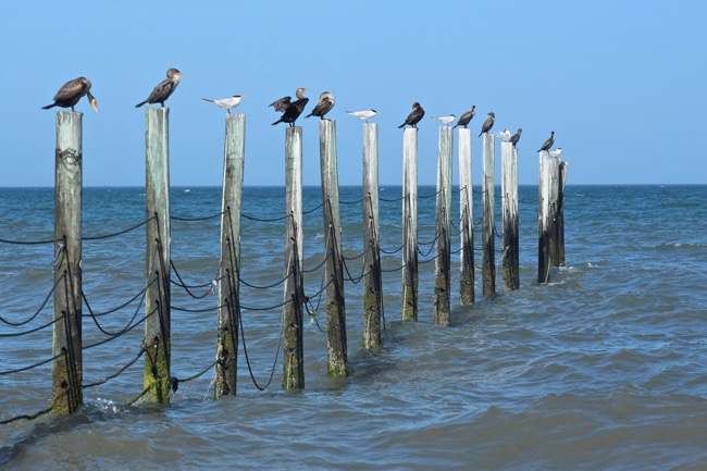 Corolla Beach Pilings with Feathered Friends!
