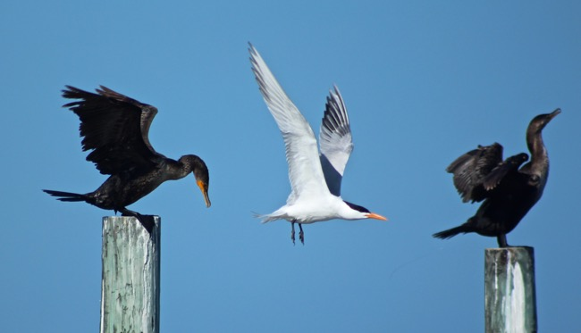 A Royal Tern between two Cormorants!