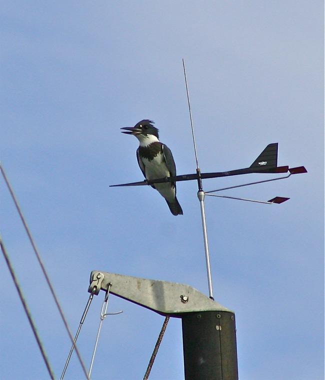 The Kingfisher Weatherbird!