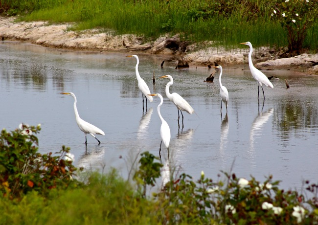 Photograph of Blackwater NWR by William R. Beebe