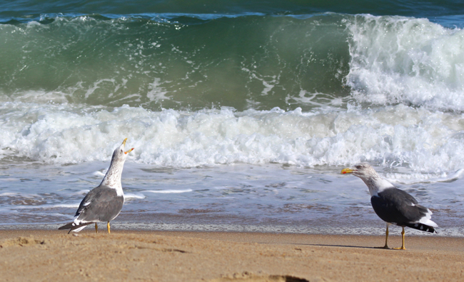 Howling at the Breakers,photo by William R. Beebe