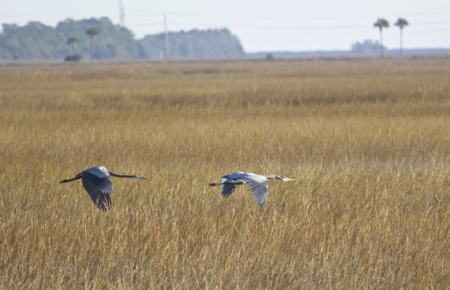 Two Great Blue Herons on the chase!