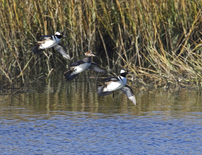 Three Mergansers wing to wing.