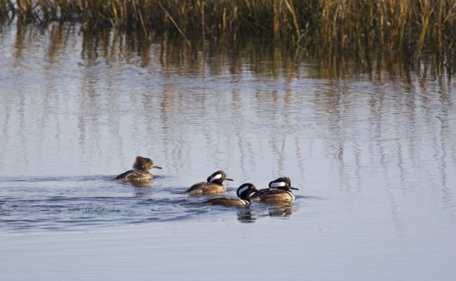 Mergansers cruising on the wetlands!