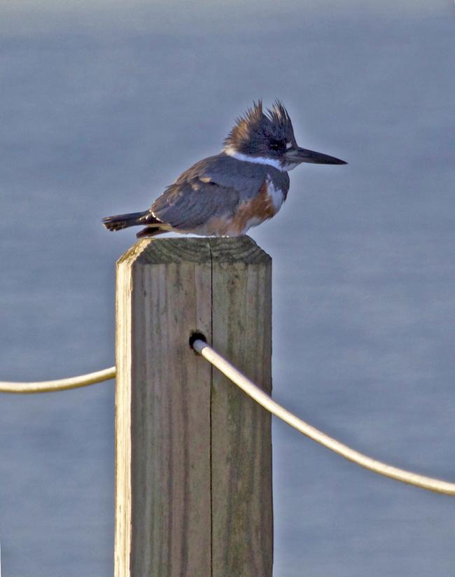 Kingfisher!