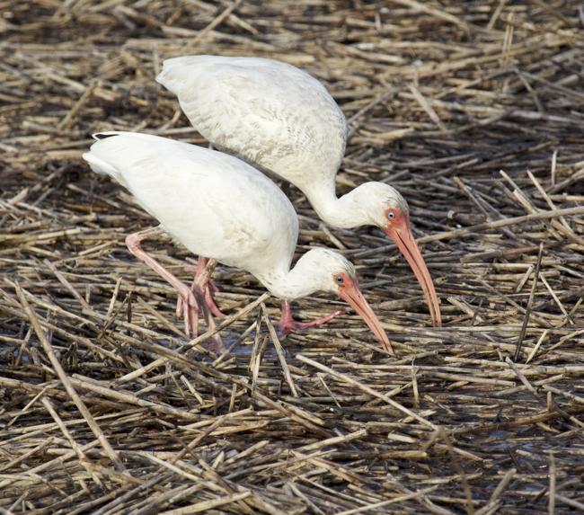 White Ibis at feeding time!