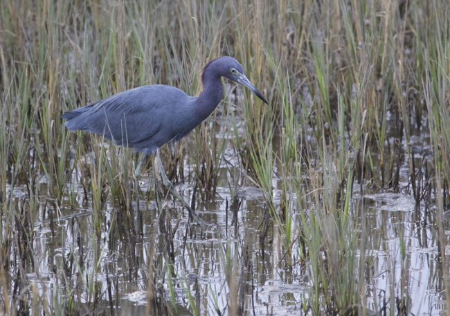 A hungry Little Blue Heron!
