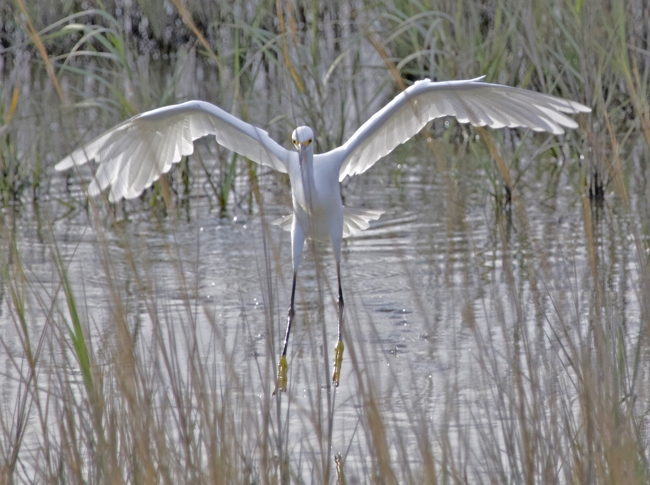 Snowy Egret on the move!