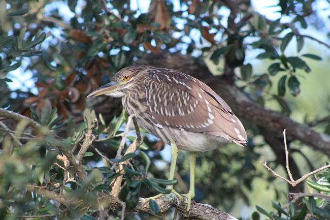 Shy Bird! Photo by William R. Beebe