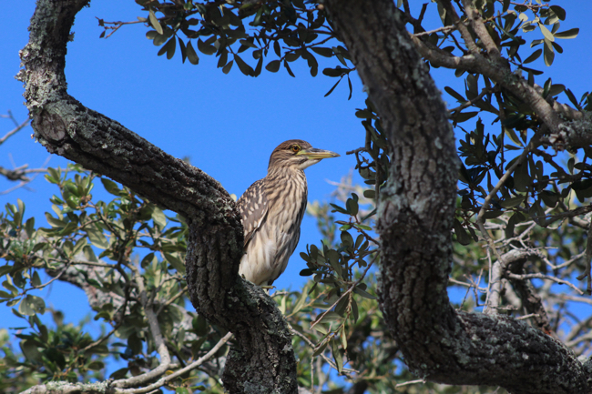 On Top of the Old Oak Tree! Photo by William R. Beebe