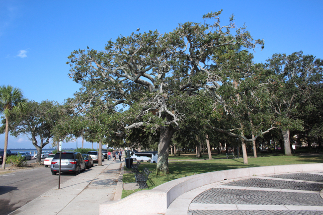 Battery Park, Charleston SC. A Night Heron Rookery. Photo by William R. Beebe