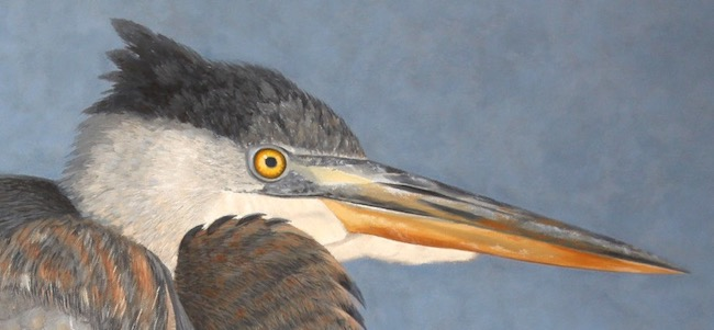 Junior Blue   by William R. Beebe, head detail