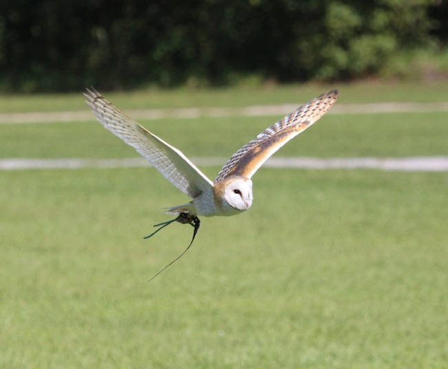 Barn Owl in flight!