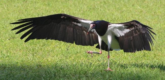 Abdim's Stork kicking a field goal! :-)