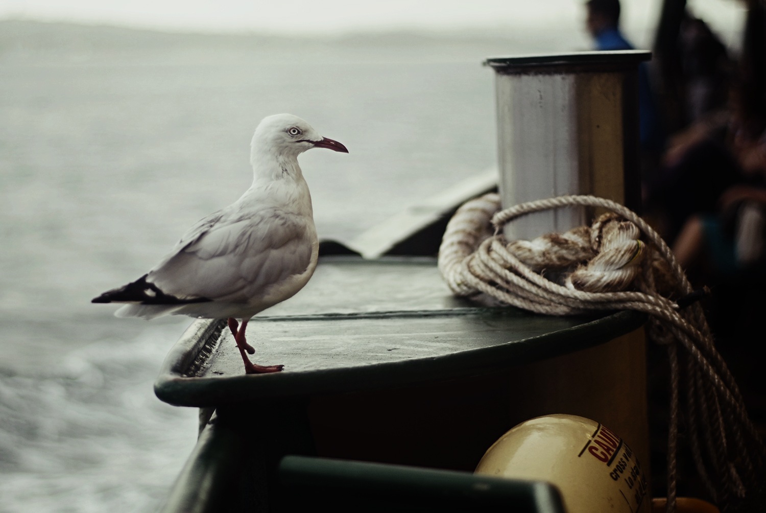 'stumpy' the seagull who hitched a ride with us