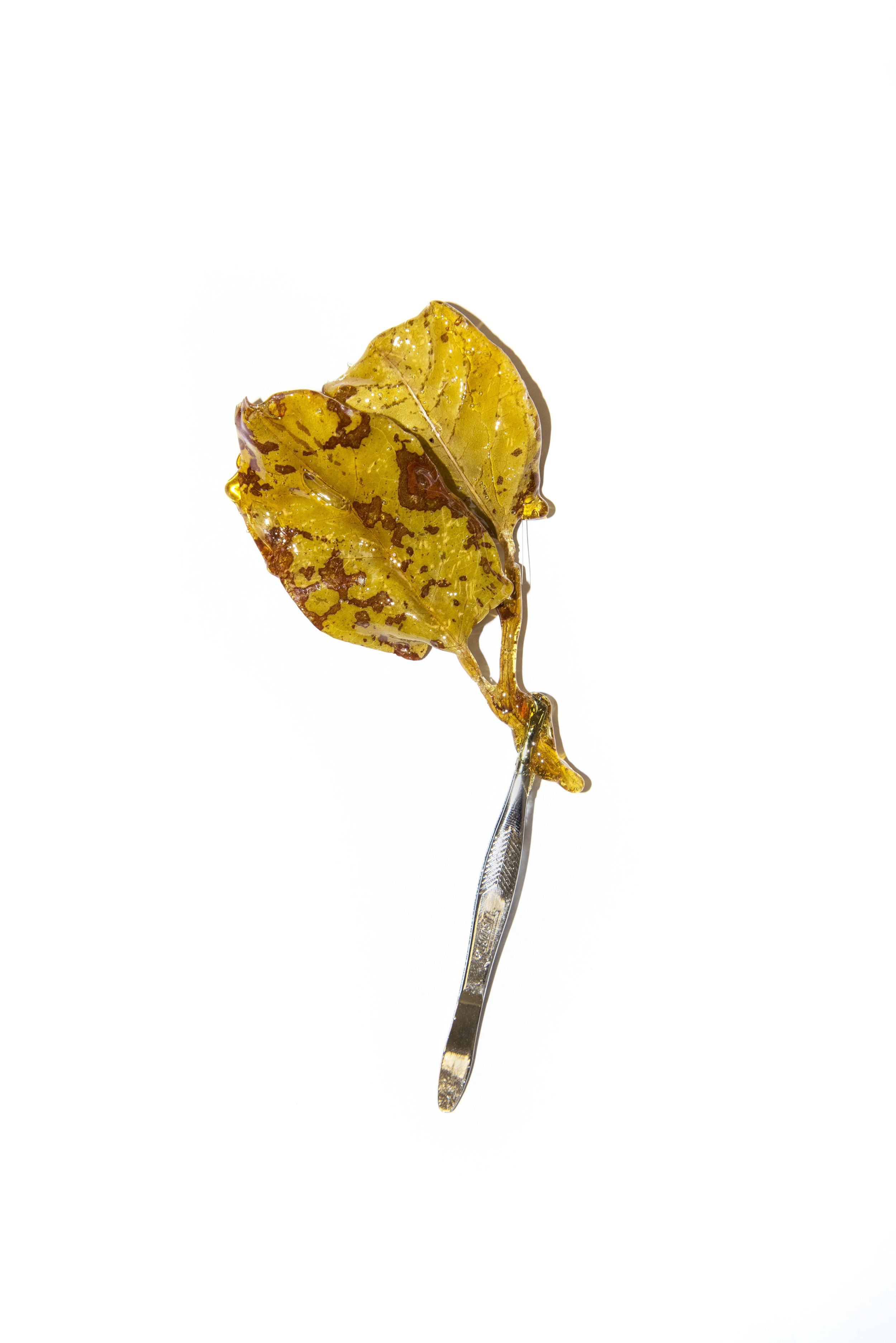 japanaese_knot_weed_in_amber.jpg