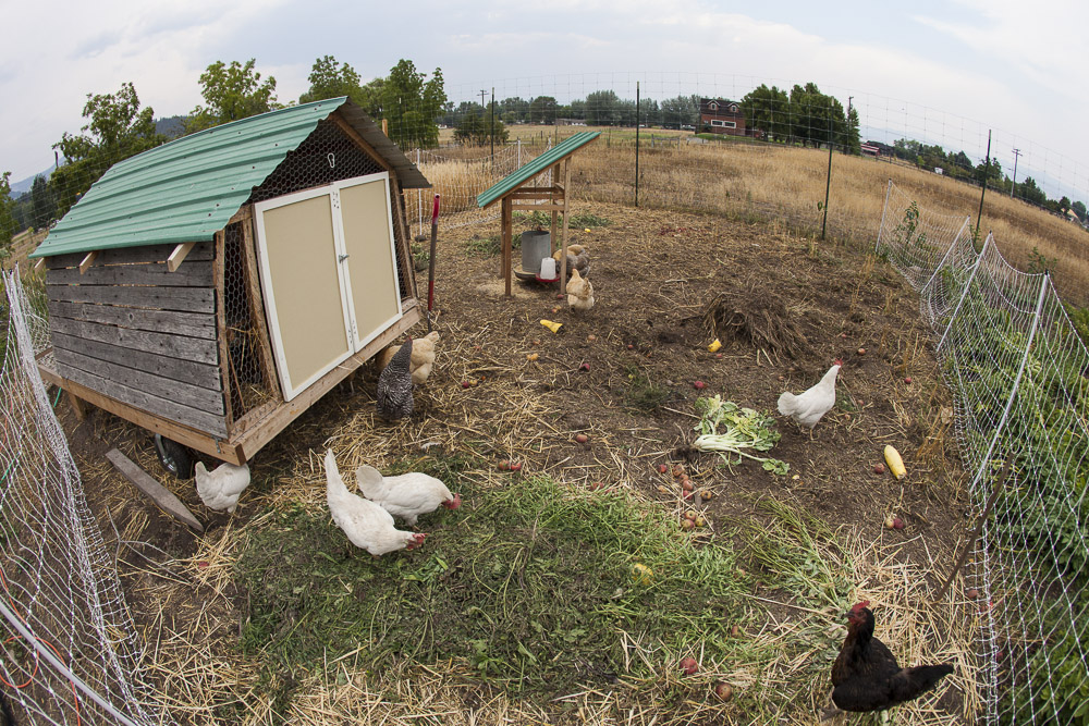 We believe in integrating animal systems into our diversified farming practices. These 21 chickens are shown in their mobile coop, inspired by farmer Eliot Coleman. The chicken manure falls on our recently cut grain and cover crop area.