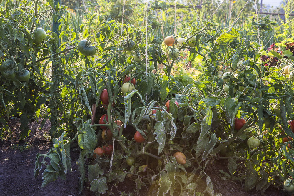 On a good day near the end of our short growing season in September, we are finding that it's easy to harvest more than 60 pounds of produce from our growing space.  It's time to start harvesting in earnest and store our food for the winter.