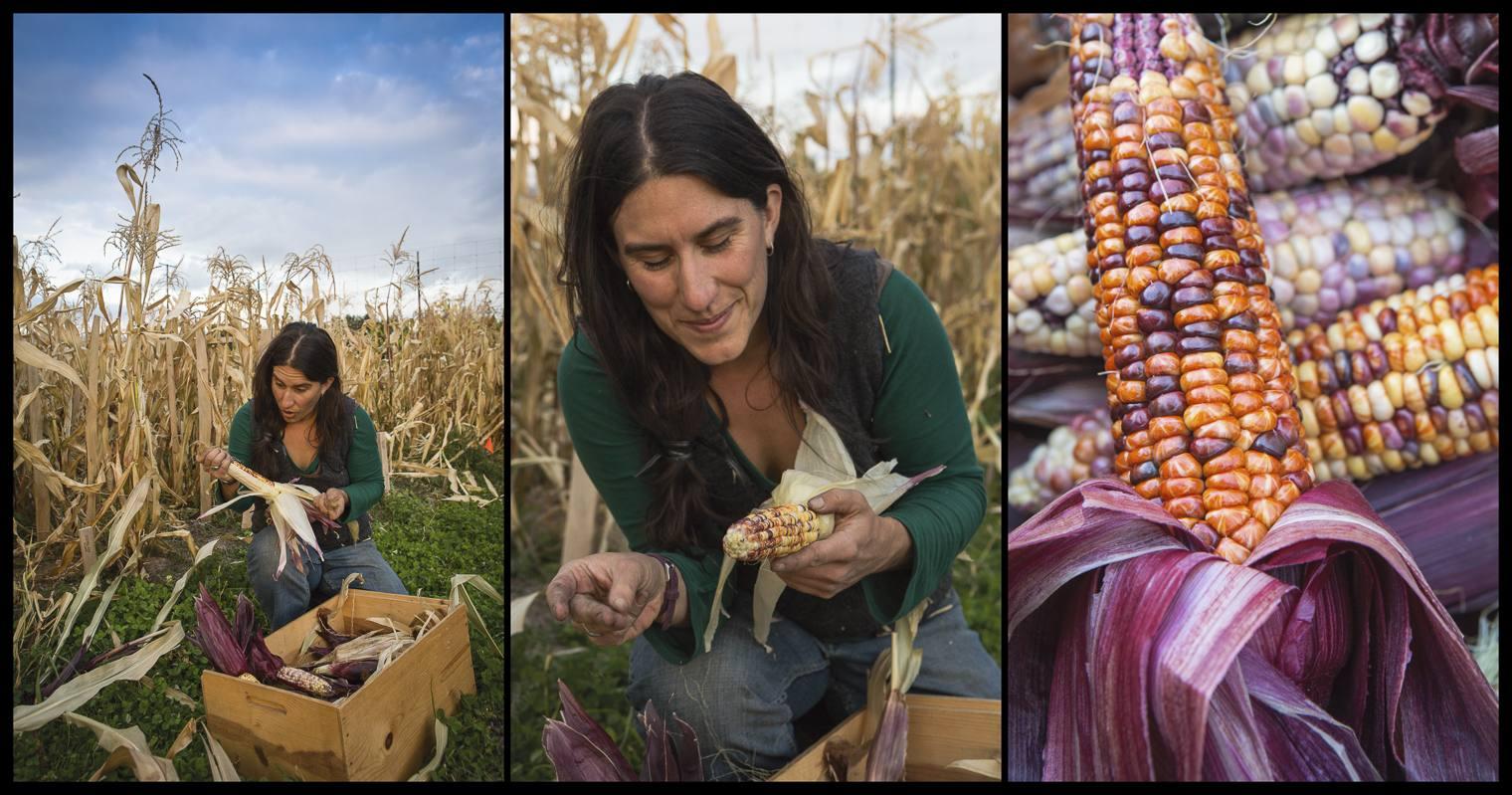 corn-harvest.jpg